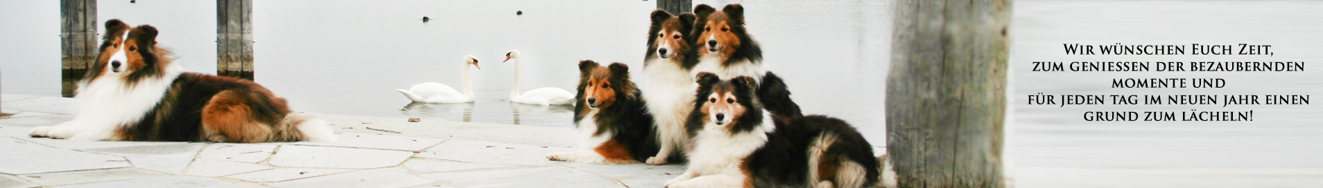 Shelties Of Perfect Dream Home